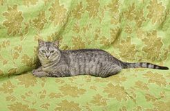 Katt på grön bakgrund, allvarlig katt, hemmastadd katt, stolt katt, rolig katt, grå katt, tamdjur, grå allvarlig katt i oskarp ba Royaltyfri Foto