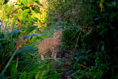 Katt på jakten Arkivfoto
