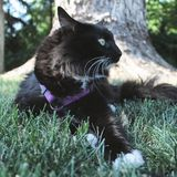 Katt på koppeln arkivbilder