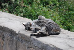 Katt på Monserrat Mountain fotografering för bildbyråer