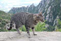 Katt på Monserrat Mountain Arkivbilder