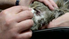 Katt på operationsbordet Djuret torkas från bindhinneinflammation Veterinärklinik doctor tålmodign lager videofilmer