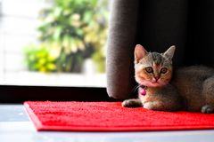 Katt på röd matta Royaltyfri Fotografi