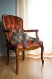 Katt på röd sammetstol Arkivfoto