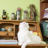 Katt på skrivbordet som ser upp Royaltyfri Bild