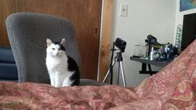 Katt på stol fotografering för bildbyråer