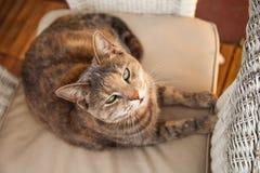 Katt på stol som ser kameran Arkivbilder