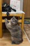 Katt på stolen Royaltyfria Bilder