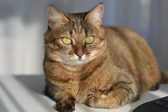 Katt på tabellen royaltyfria bilder