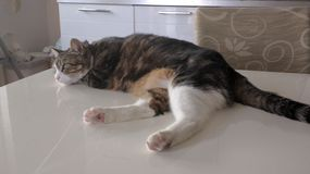 Katt på tabellen Arkivbilder