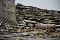 Katt på taket av ett hus som går i en stormig dag Royaltyfri Fotografi
