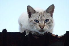 Katt på takkanten Royaltyfria Foton