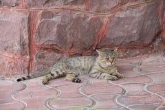 Katt perser som är bekväm, Iran Fotografering för Bildbyråer