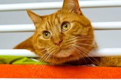 Katt rött, hem- som är mjuk, smekning, förälskelse royaltyfri fotografi