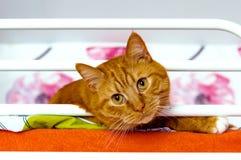 Katt rött, hem- som är mjuk, smekning, förälskelse royaltyfri bild