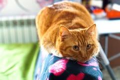 Katt rött, hem- som är mjuk, smekning, förälskelse, fruktdryck royaltyfria foton