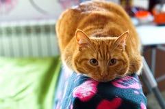 Katt rött, hem- som är mjuk, smekning, förälskelse, fruktdryck royaltyfri bild
