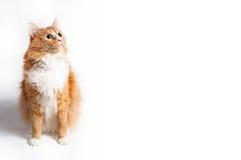 Katt som är rävaktig royaltyfri foto