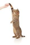katt som äter mathandstanding arkivbild