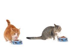katt som äter två Arkivbild