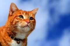 katt som 17 ser tabbyyellow Arkivbild