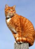 katt som 5 ser tabbyyellow Royaltyfria Bilder