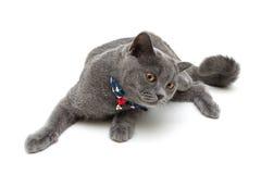 Katt som bär en krage med pilbågen och klirr som isoleras på en vitbac royaltyfri foto