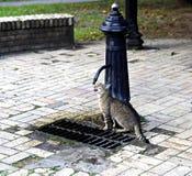 Katt som dricker från en vattenkolonn Arkivbild