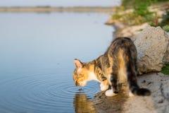 Katt som dricker från sjön Royaltyfria Foton