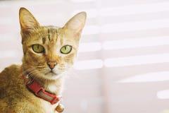 Katt som fångas med en röd halsklocka framsidablickvindögdheten Ögon som ser raka royaltyfria foton