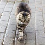 Katt som går i gatan som är suzdal, ryssfederation Fotografering för Bildbyråer