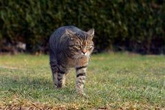 Katt som går på trädgården Arkivfoto