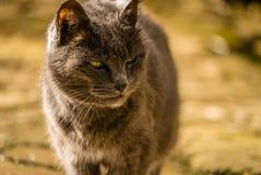Katt som hårt tänker Royaltyfria Foton