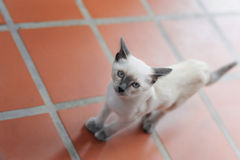 Katt som kliver på det belade med tegel golvet Arkivbilder