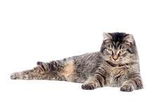 katt som lägger ner tabbyen Arkivfoton