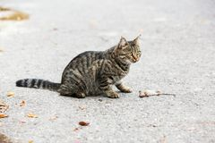 Katt som leker med den fångade musen Arkivbilder