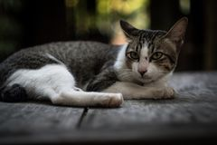 Katt som ligger på tabellen arkivbilder