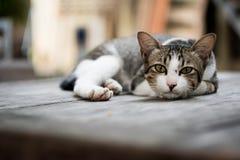 Katt som ligger på tabellen royaltyfria bilder