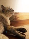 Katt som ligger på trägolvet som upp till ser ljus källa royaltyfri bild