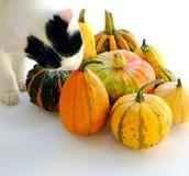 Katt som luktar dekorativa pumpor Arkivfoto
