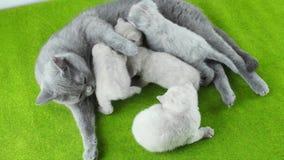 Katt som matar henne nyfödda kattungar, närbildsikt stock video