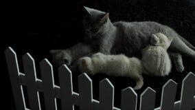 Katt som matar henne nyfödda kattungar, närbildsikt lager videofilmer