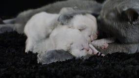 Katt som matar henne nyfödda kattungar, svart bakgrund stock video