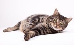 Katt som ner lägger Arkivfoton