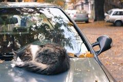 Katt som ner ligger på car& x27; s-huv Arkivfoton