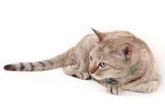 Katt som ner ligger på vit bakgrund Royaltyfri Fotografi