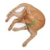 Katt som ner ligger på vit bakgrund Royaltyfria Foton