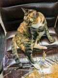 Katt som poserar på stol Katt som poserar på stol Katt som poserar på stol arkivbild