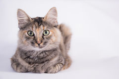 Katt som rasting Royaltyfria Bilder
