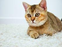 katt som ser något fotografering för bildbyråer